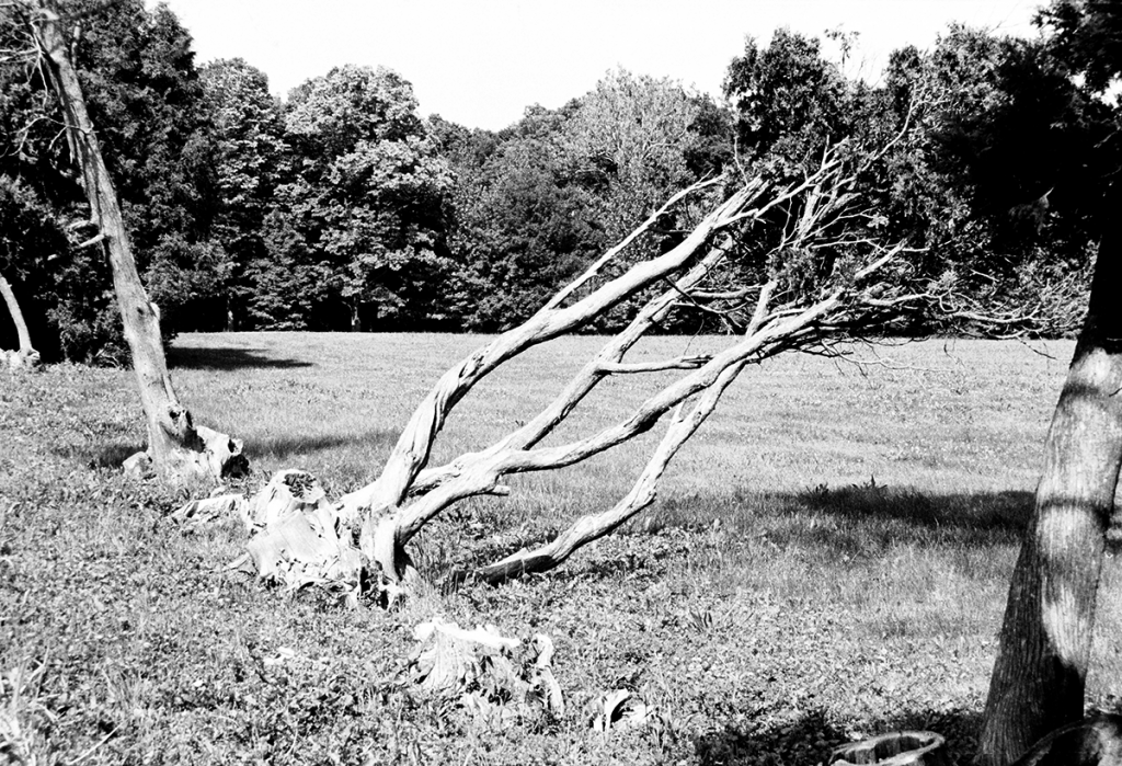 A dead tree at Alerton Park