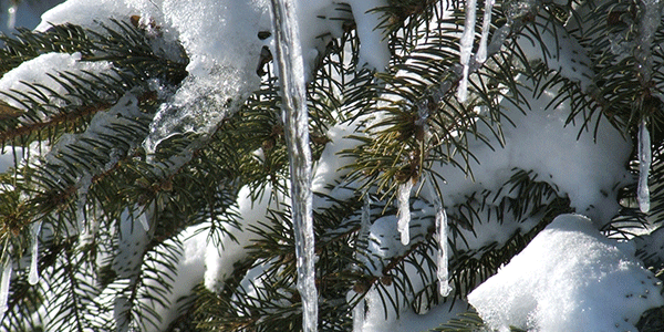 Ice sickles and snow on a pine tree