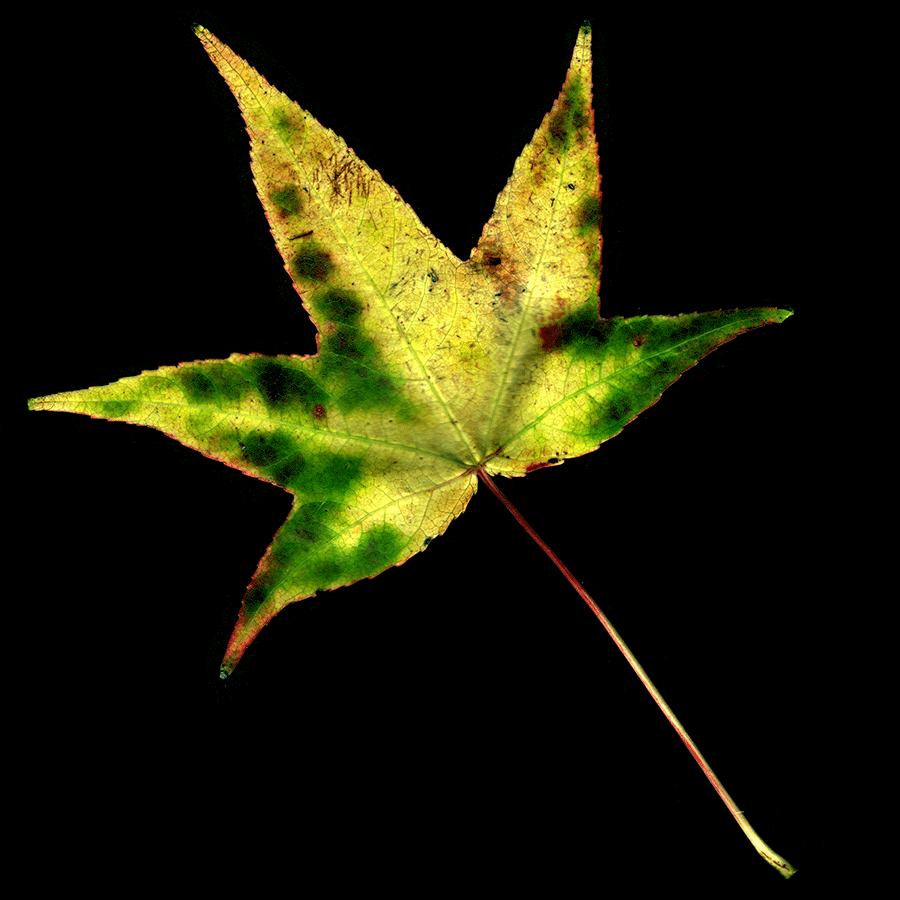 A Scan of a leaf