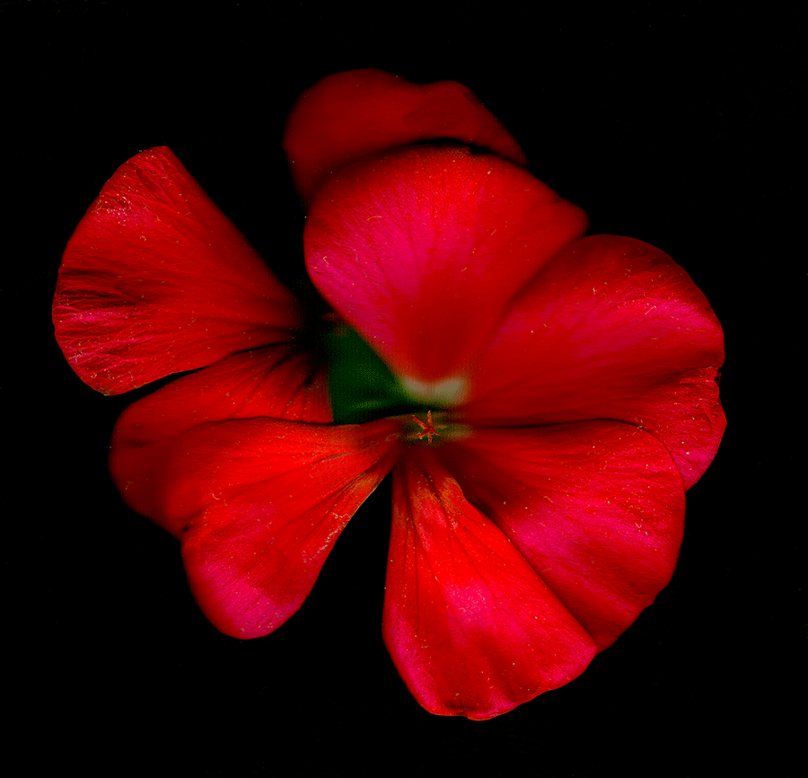 A Scan of a red flower